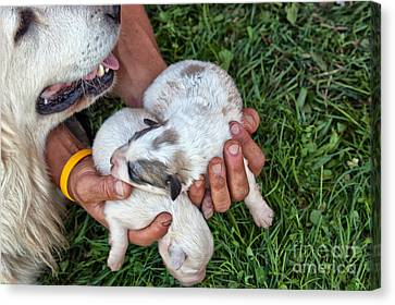 Working Dog Canvas Print - Hands Holding One-week-old Great by Inga Spence