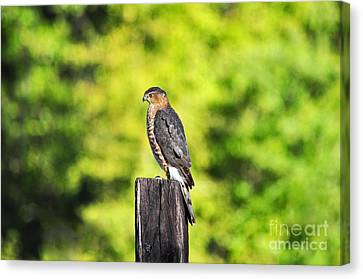Canvas Print featuring the photograph Handsome Hawk by Al Powell Photography USA
