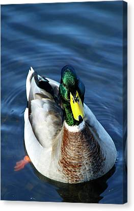 Handsome Male Mallard Canvas Print