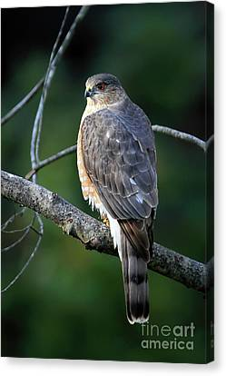 Handsome Sharp Shinned Hawk Canvas Print