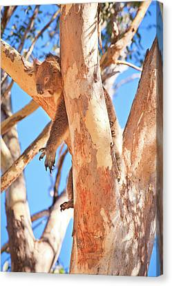 Canvas Print featuring the photograph Hanging Around, Yanchep National Park by Dave Catley
