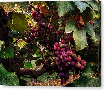 Hanging Out In The Vineyard Canvas Print by Greg Mimbs