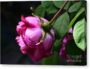 Hanging Rose Canvas Print by Ludmilla Resch