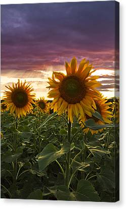 Happiness Is A Field Of Sunflowers Canvas Print by Debra and Dave Vanderlaan