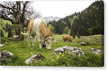 Happy Cows In High Pastures Canvas Print