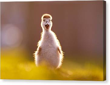 Happy Easter - Cute Baby Gosling Canvas Print by Roeselien Raimond