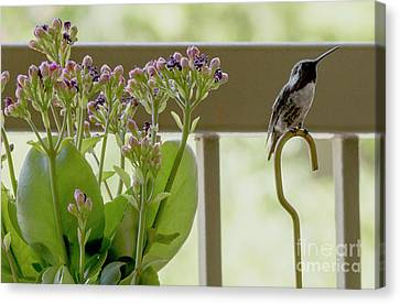 Happy Hummer Canvas Print by Anne Rodkin