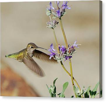 Happy Hummer Canvas Print by Jean Booth