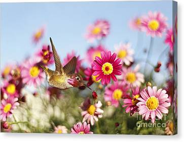 Happy Hummingbird Canvas Print