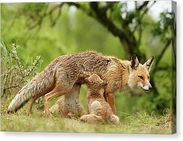 Happy Moments - Mother Fox Suckling Her Fox Kits Canvas Print by Roeselien Raimond