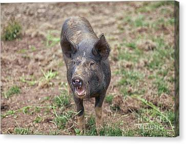 Canvas Print - Happy Piglet by Patricia Hofmeester