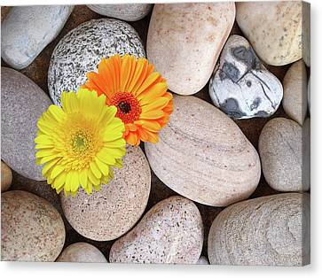 Balance In Life Canvas Print - Sunshine Daisies And Pebbles On The Beach by Gill Billington