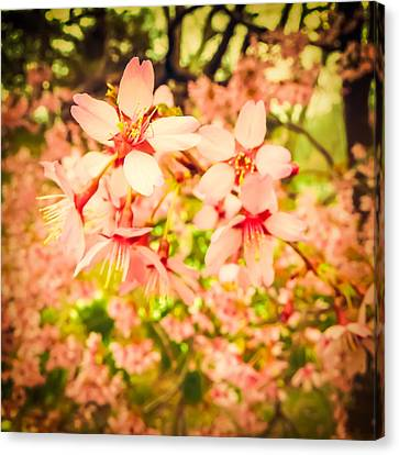 Cherry Tree Canvas Print - Harbingers Of Spring by Jon Woodhams