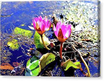 Hardy Waterlilies Canvas Print by Marilyn Holkham