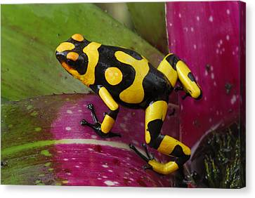 Harlequin Poison Dart Frog  Canvas Print by Thomas Marent