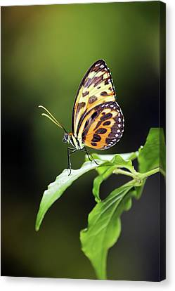 Canvas Print featuring the photograph Harmonia Tiger Wing by Grant Glendinning