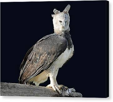Harpy Eagle Canvas Print