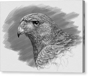 Harris Hawk Drawing Canvas Print by Kathie Miller