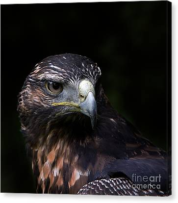 Canvas Print featuring the photograph Harris Hawk by Joerg Lingnau