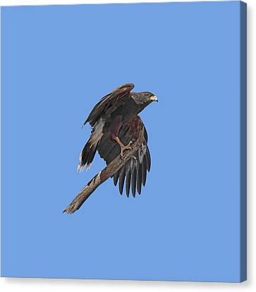 Harris Hawk - Transparent Canvas Print by Nikolyn McDonald