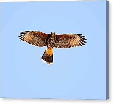 Canvas Print featuring the photograph Harris's Hawk H36 by Mark Myhaver