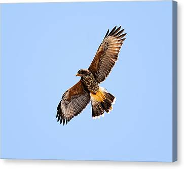 Canvas Print featuring the photograph Harris's Hawk H37 by Mark Myhaver