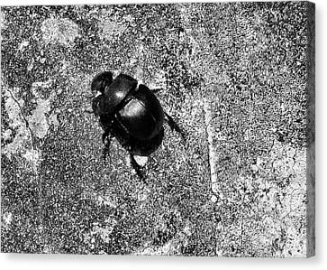Harsh Life Black White Life Is Dung Beetle Card Canvas Print by Kathy Daxon