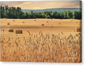 Harvest Of Gold Canvas Print by Lori Deiter