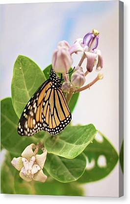 Canvas Print featuring the photograph Hawaiian Monarch by Heather Applegate