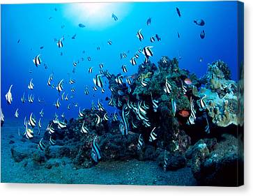 Hawaiian Reef Scene Canvas Print by Dave Fleetham - Printscapes