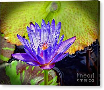 Hawaiian Water Lily Canvas Print by Sue Melvin
