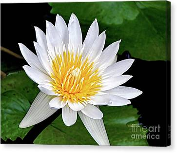 Hawaiian White Water Lily Canvas Print by Sue Melvin