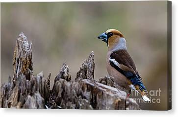 Hawfinch Perching Canvas Print by Torbjorn Swenelius