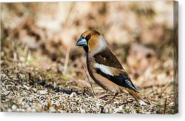 Hawfinch's Gaze Canvas Print by Torbjorn Swenelius