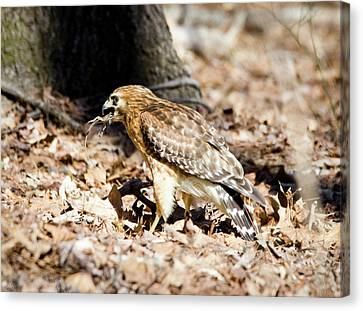 Canvas Print featuring the photograph Hawk And Gecko by George Randy Bass