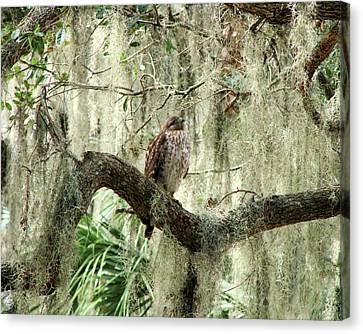 Hawk In Live Oak Hammock Canvas Print