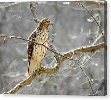 Canvas Print featuring the photograph Hawk On Lookout by George Randy Bass