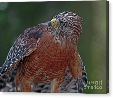 Hawk Portrait Canvas Print