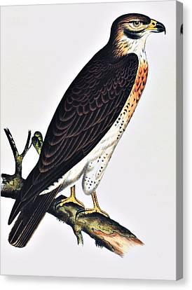 Hawk Swainsons Hawk Canvas Print