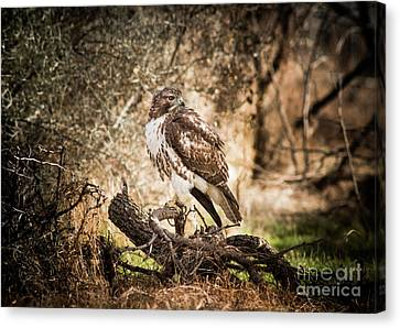 Hawk Through A Thicket Canvas Print by Robert Frederick