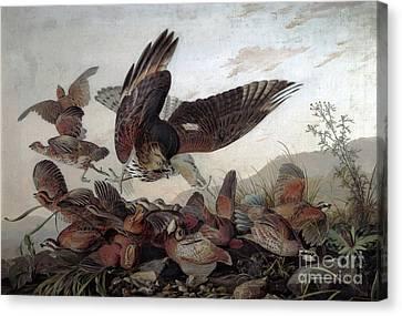 Swoop Canvas Print - Hawks Attacking Partridges by John James Audubon