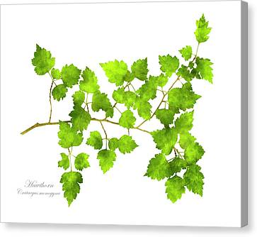 Pattern Canvas Print - Hawthorn Pressed Leaf Art by Christina Rollo