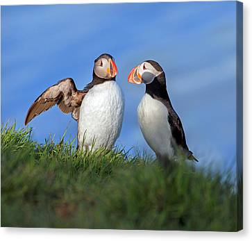 Puffin Canvas Print - He Went That Way by Betsy Knapp