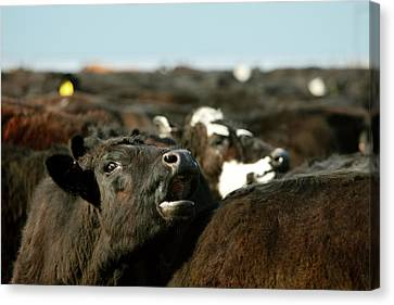 Angus Steer Canvas Print - Head Angus by Todd Klassy