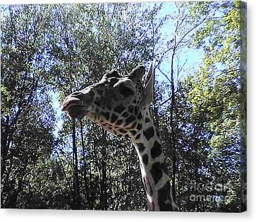 Head Giraffe Canvas Print by Daniel Henning