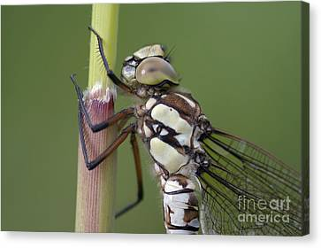 Head Of The Dragonfly Canvas Print by Michal Boubin
