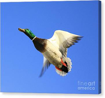 Heads Up Canvas Print by Robert Pearson