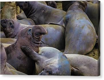 Cambria Canvas Print - Heard Of Elephant Seals by Garry Gay