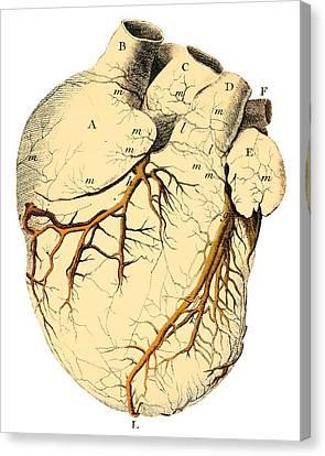 Heart Anatomy, 18th Century Canvas Print by