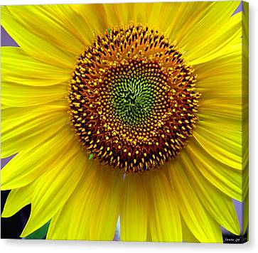 Canvas Print featuring the photograph Heart Of A Sunflower by JoAnn Lense
